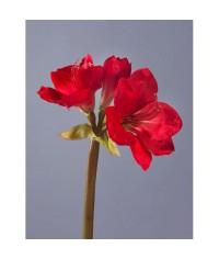 Амариллис темно-красный
